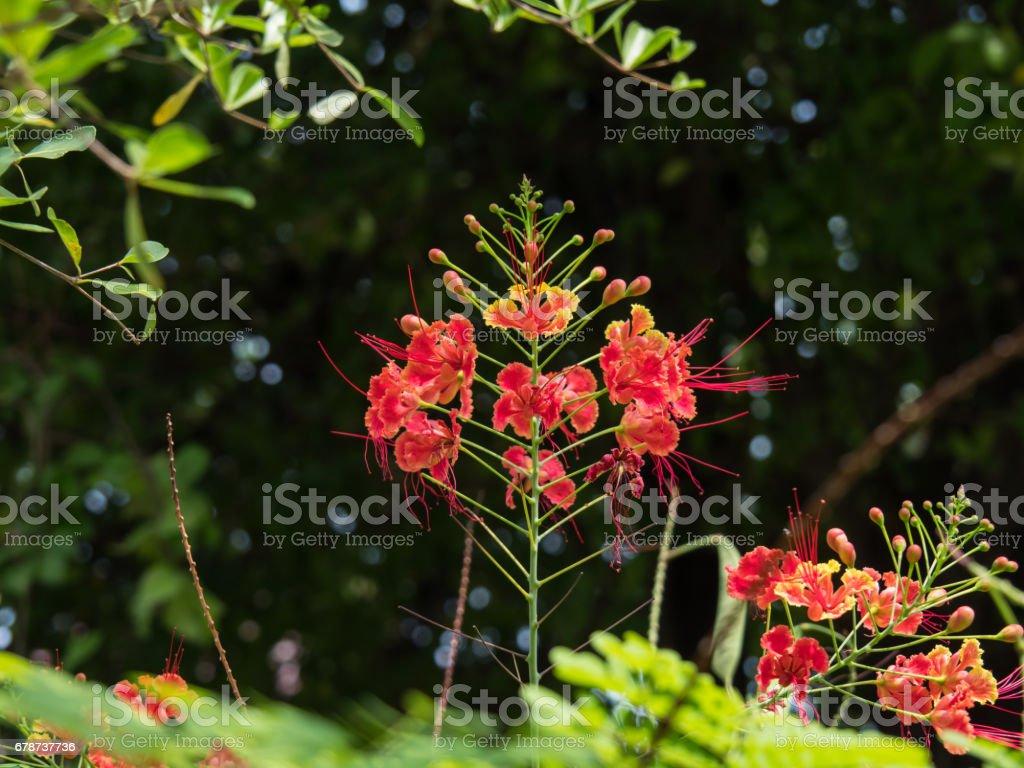 Caesalpinia Pulcherrima with blur background photo libre de droits