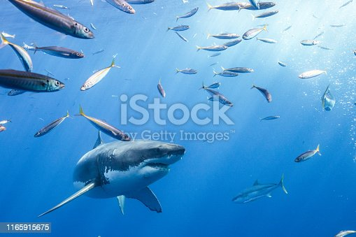 Cage Diving with great white sharks off the island of Guadalupe in Mexican waters of the Pacific Ocean
