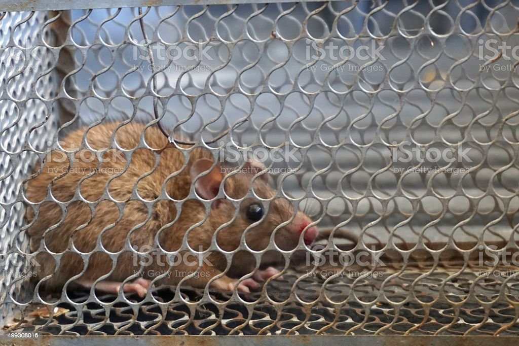 cage to trap rat stock photo