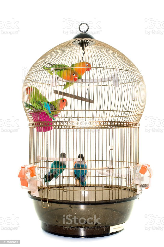 cage with lovebird stock photo