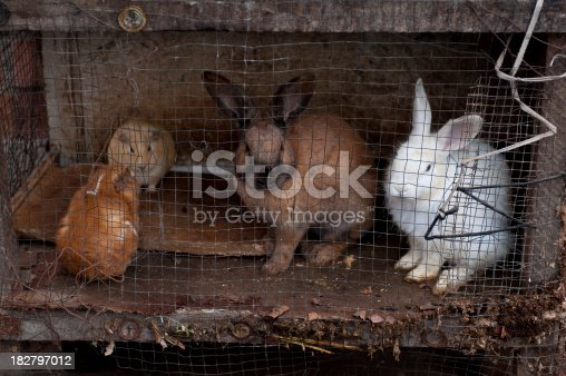 guinea pigs and rabbits in dirty cage