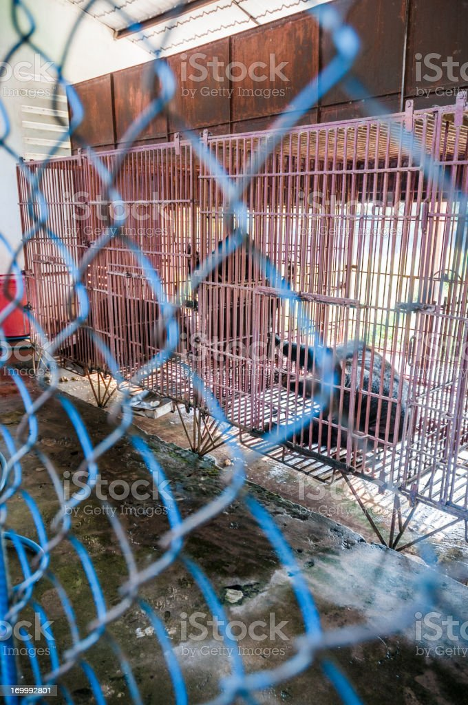 Caged Asiatic Black Bears (Bile Bears) In Vietnam stock photo