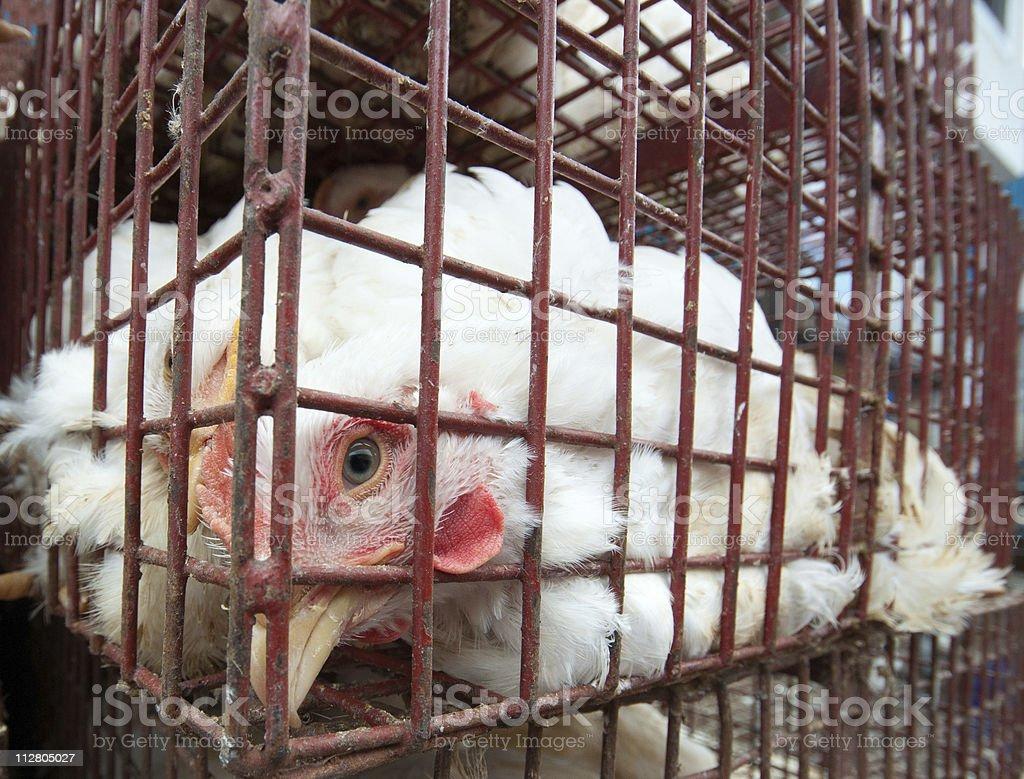 Poulet en cage - Photo