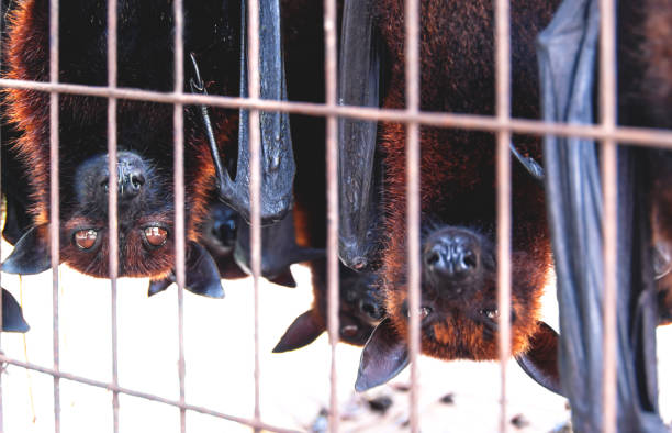Caged Flying foxes bats upside down at a market for food, Sumatra, Indonesia stock photo