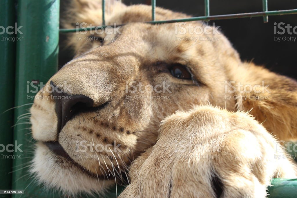Caged Lion stock photo