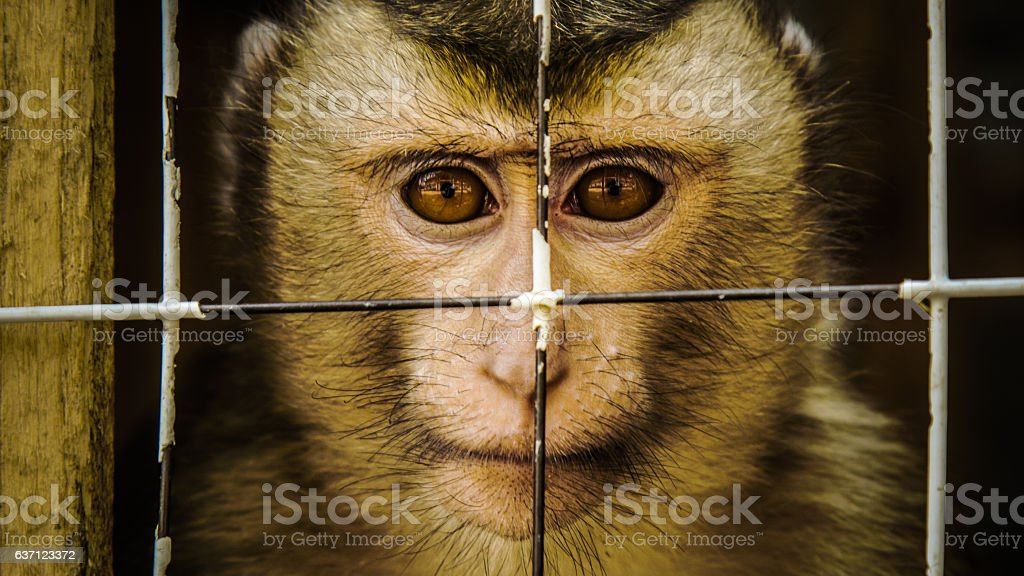 Caged Macaque Macaque held in captivity. Abuse Stock Photo