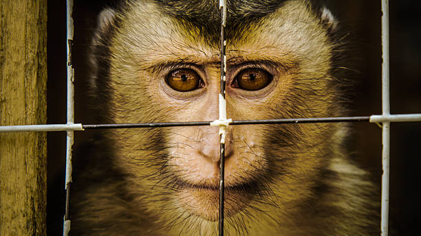 Caged Macaque Macaque held in captivity. animal testing stock pictures, royalty-free photos & images