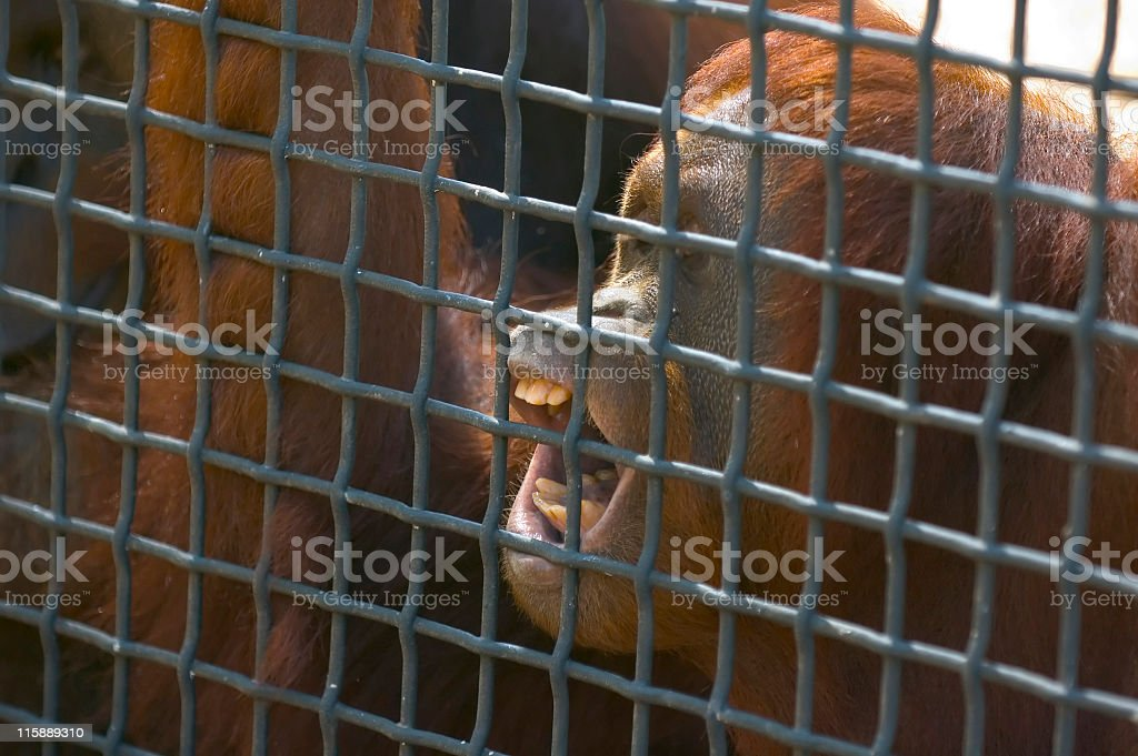 Caged! royalty-free stock photo