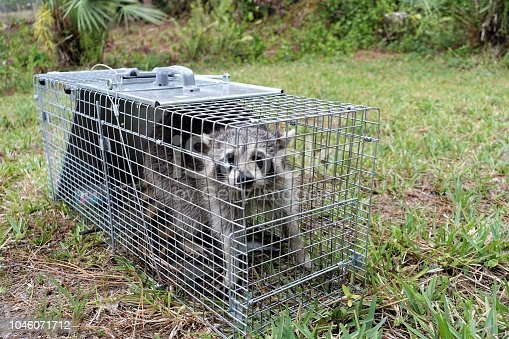 Humanely captured raccoon in metal trap cage. Raccoons are one of the most common nuisance animals. They can carry rabies and other diseases, destroy property, kill poultry and steal eggs, pet food, and bird seed.
