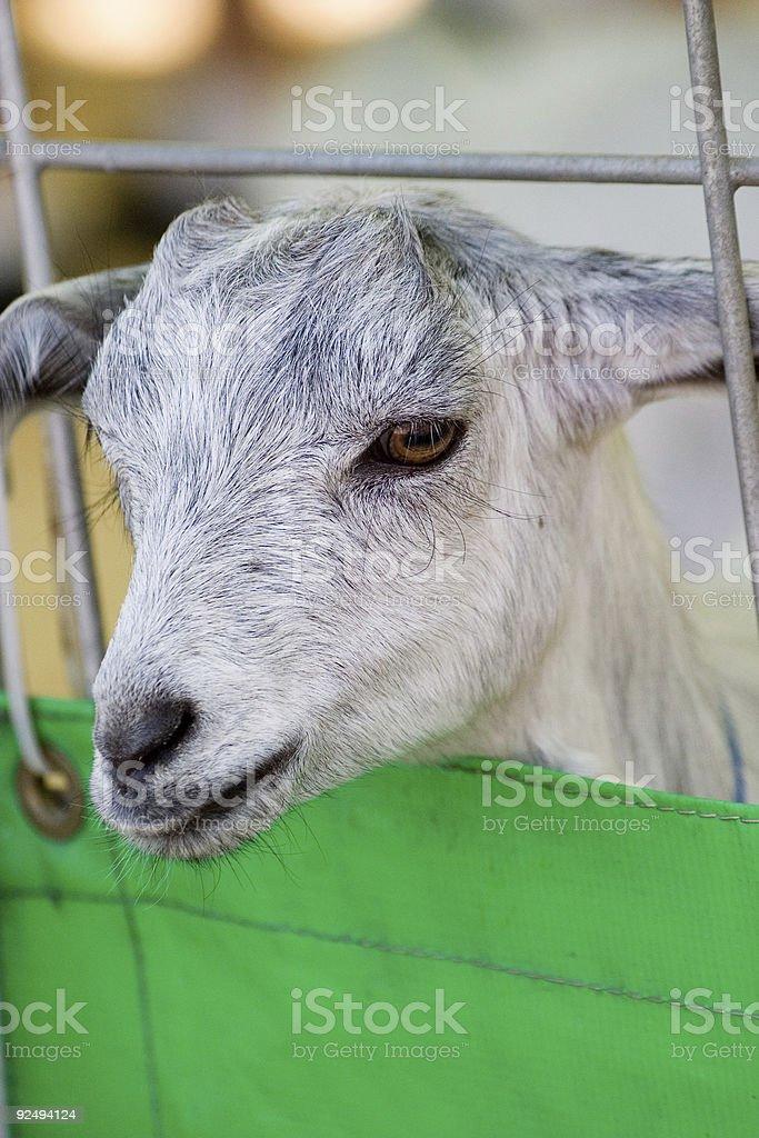 caged sheep royalty-free stock photo