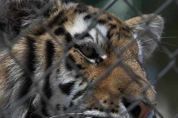 Caged Tiger stock photo