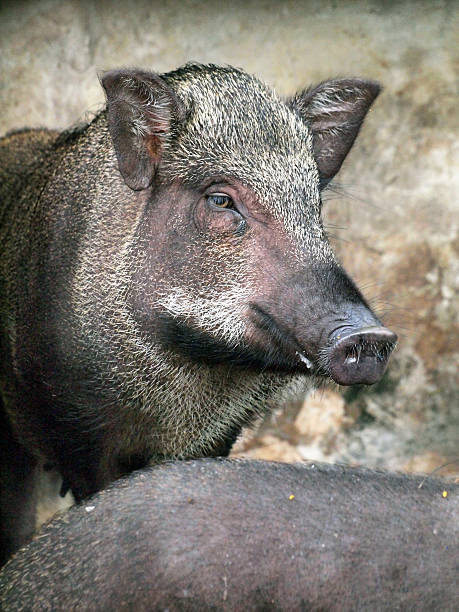 caged wild hogs - javelina stock pictures, royalty-free photos & images