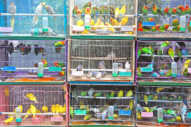 Cages with many multicolored budgies – Foto