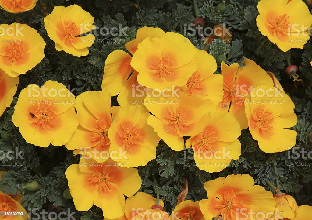 Caifornia golden poppies bloom in Spring royalty-free stock photo