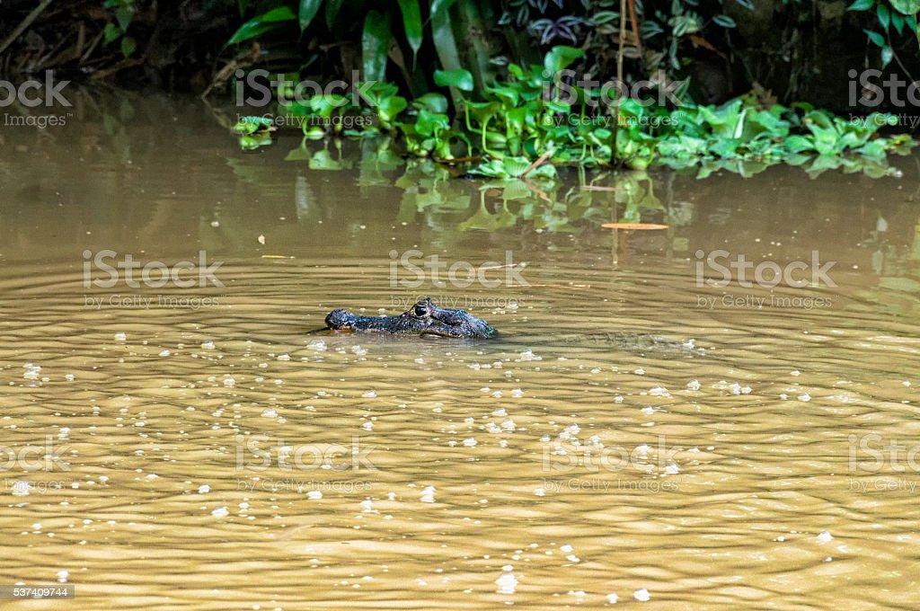 Caiman Crocodile in the rain, Costa Rica stock photo
