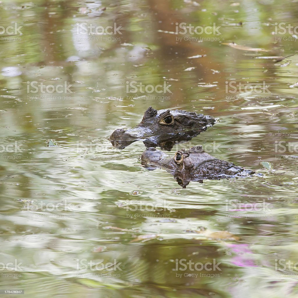 Caiman crocodiles royalty-free stock photo