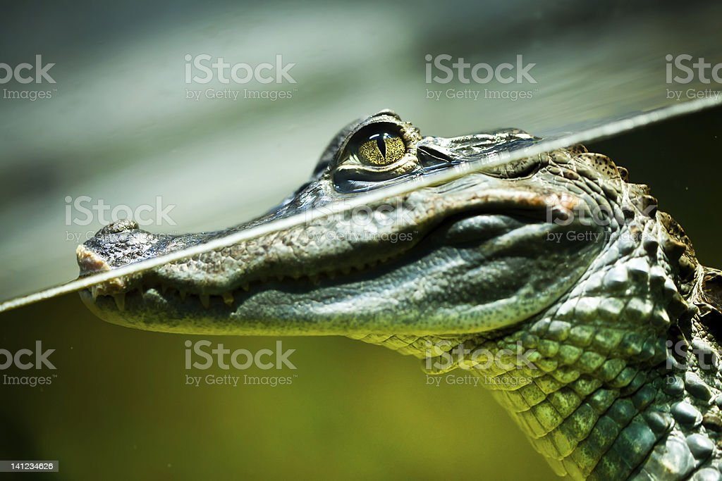 Caiman crocodilus stock photo