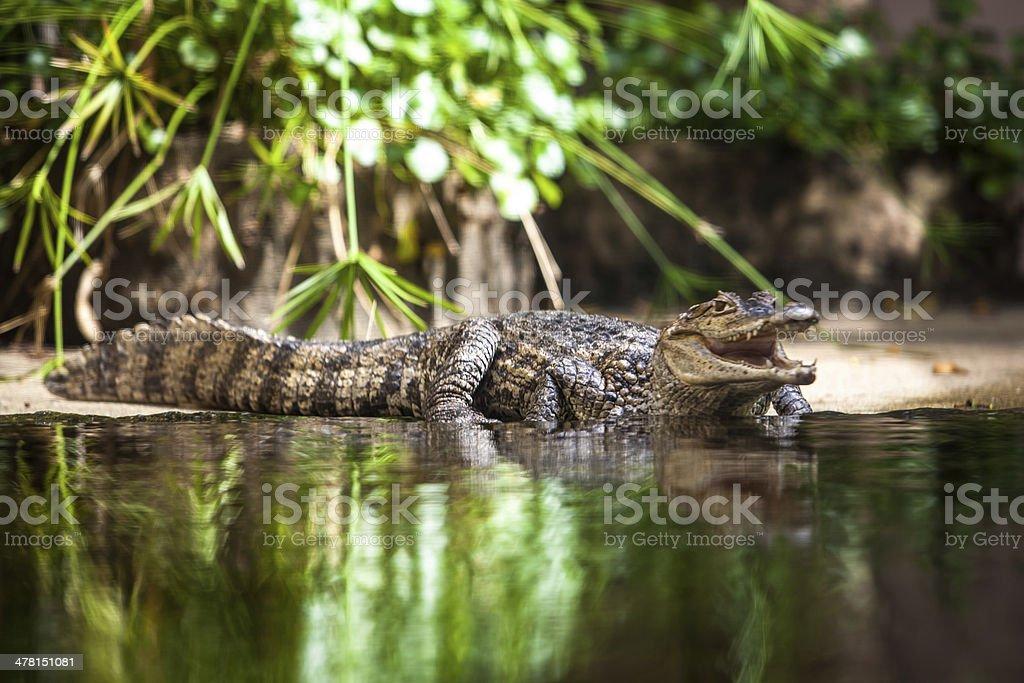 Caiman crocodilus. young alligator stock photo