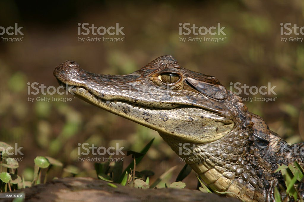 Caiman Gator 5 stock photo