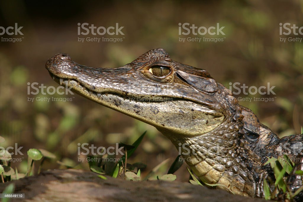 Caiman Gator stock photo
