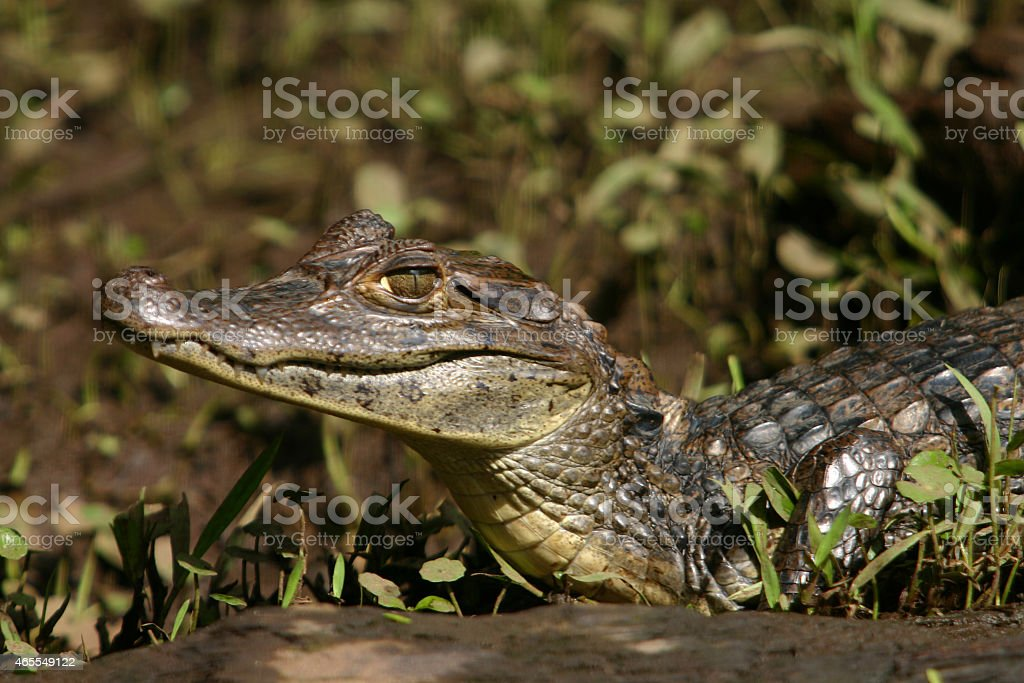 Caiman Gator3 stock photo