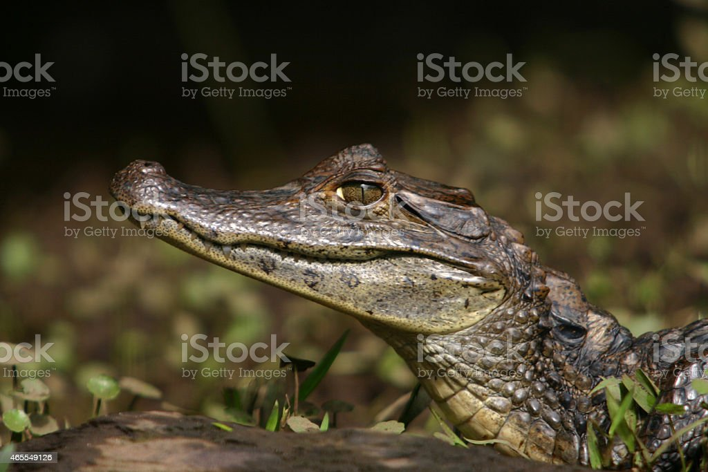 Caiman Gator4 stock photo