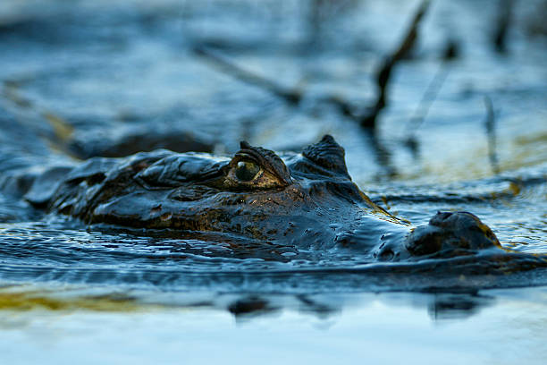 caiman glides silently on the river in the rivers of South America a caiman swims on the river looking for prey caiman stock pictures, royalty-free photos & images