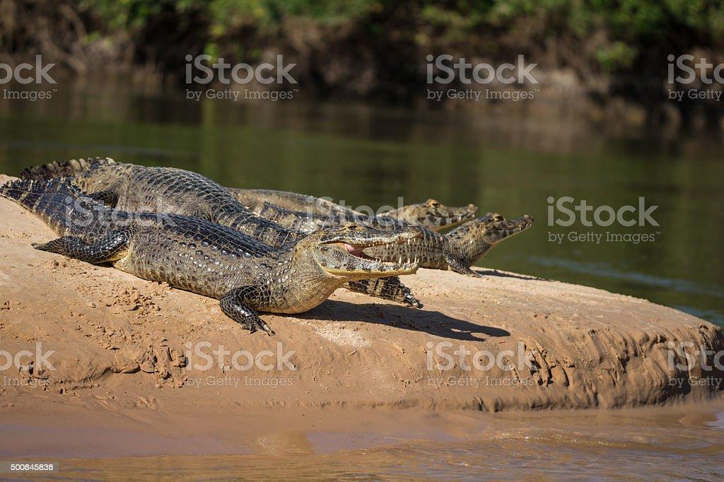 Kaiman in Pantanal Brazil stock photo