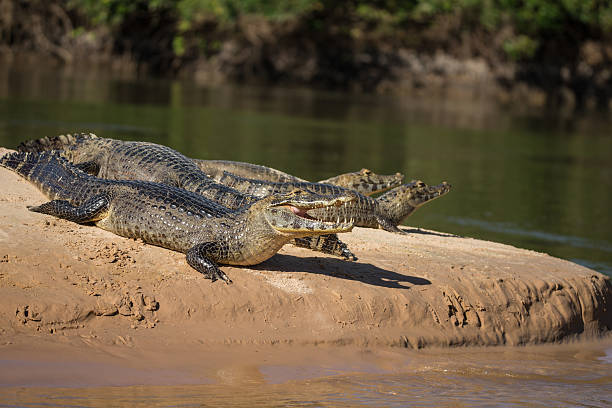 Kaiman in Pantanal Brazil Big group of Kaimans in Pantanal Brazil lying on a river bank and warming up in the sun caiman stock pictures, royalty-free photos & images