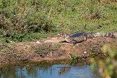 Caiman in The Pantanal, Brazil