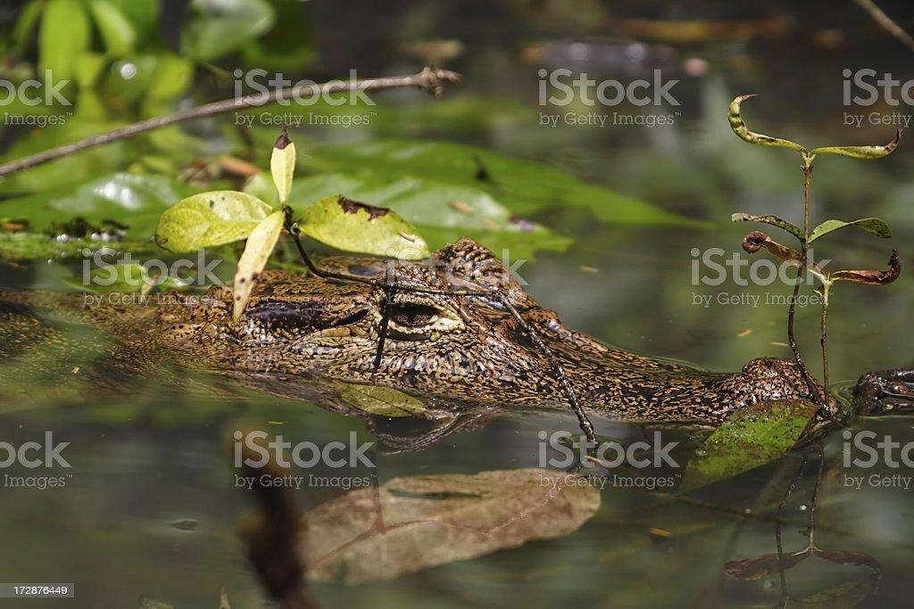 Caiman in the vegetation stock photo