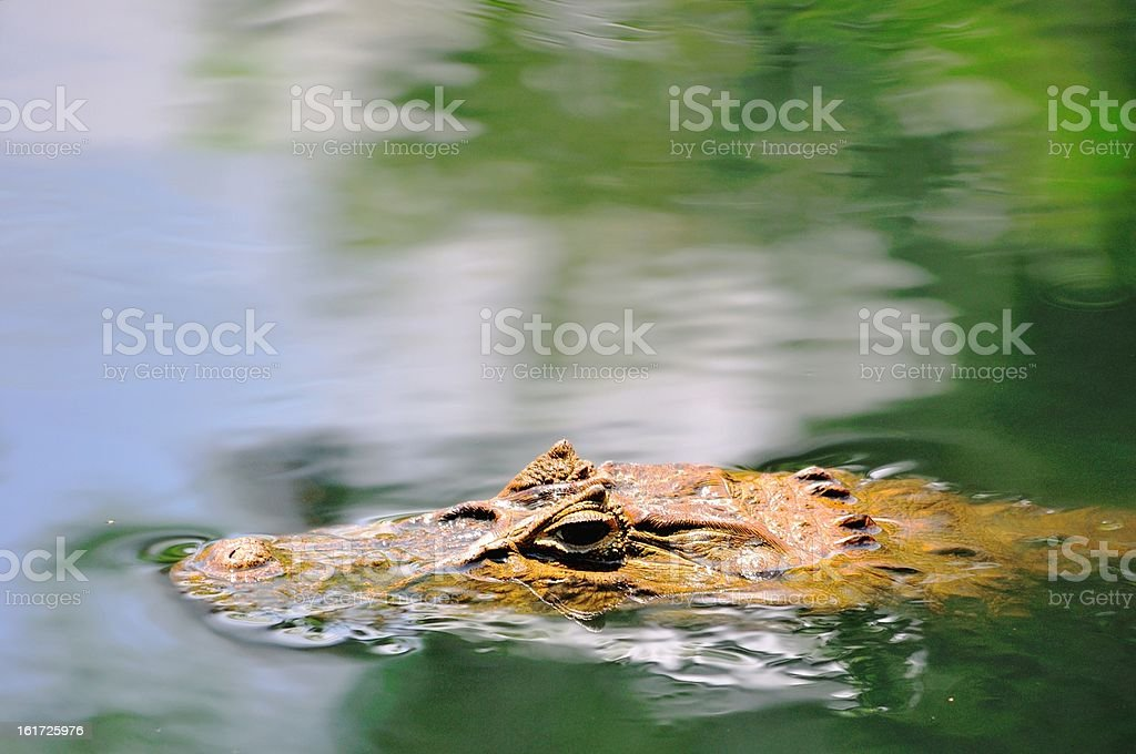 Caiman in the water royalty-free stock photo