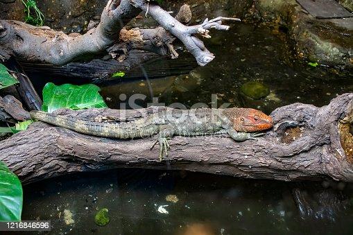 istock Caiman Lizard resting on a tree branch 1216846596