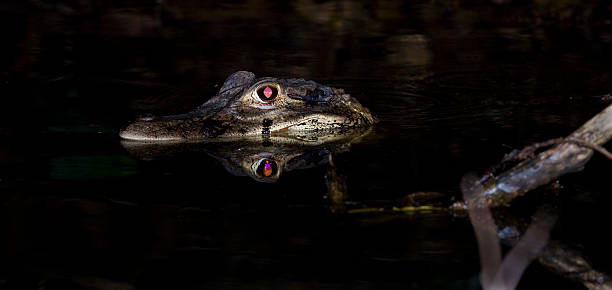 Caiman  caiman stock pictures, royalty-free photos & images