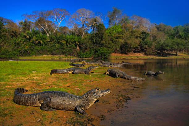 Caiman, Yacare Caiman, crocodiles in the river surface, evening with blue sky, animals in the nature habitat. Pantanal, Brazil stock photo