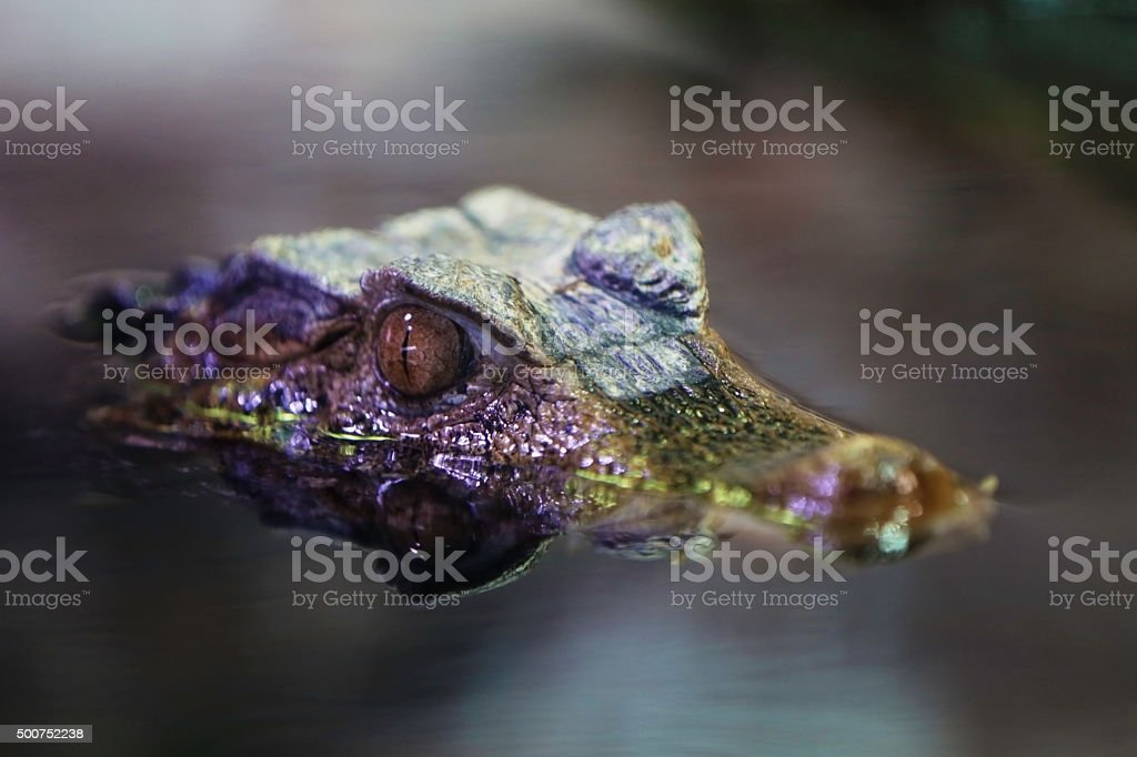 Caimano (Caiman crocodilus) stock photo