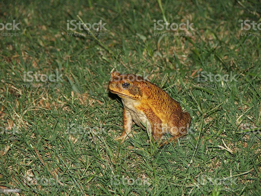 Cain Toad stock photo