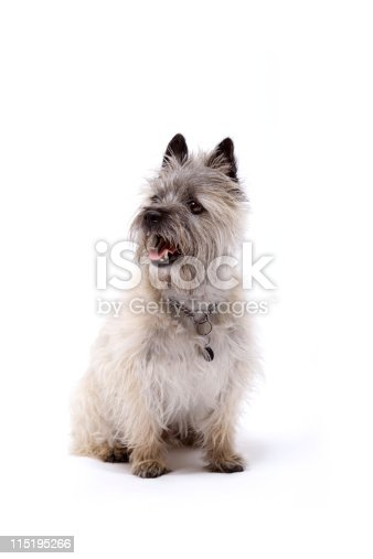 cairn terrier on white sitting down