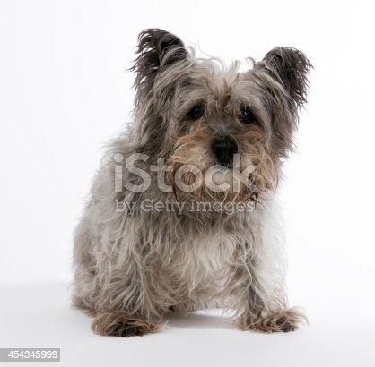 cairn terrier on white