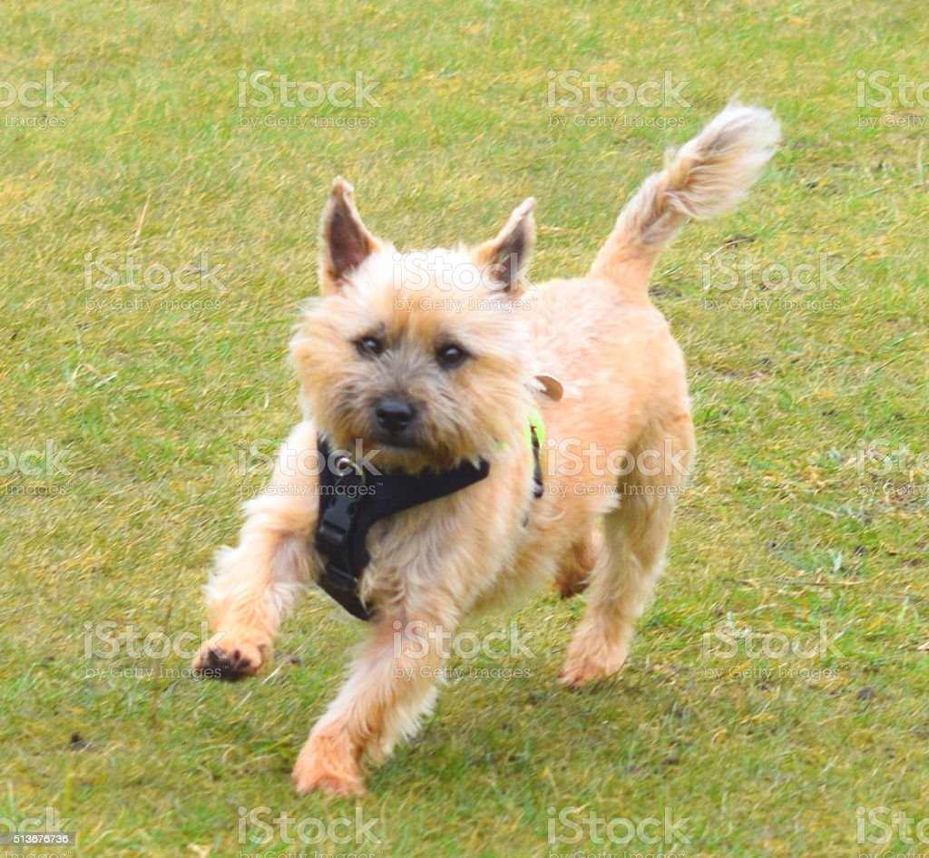 Cairn Terrier Dog Running Stock Photo - Download Image Now