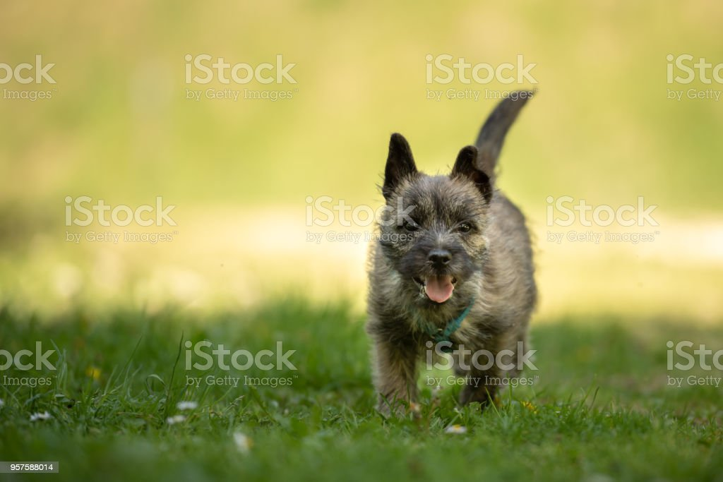 Cairn Terrier Puppy 13 Weeks Old Cute Little Dog Runs Over A Meadow