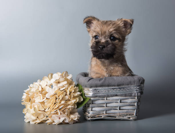 Cairn Terrier puppy dog with red hydrangea flowers stock photo