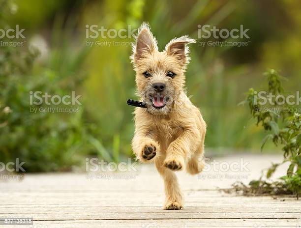 Cairn terrier puppy picture id527135315?b=1&k=6&m=527135315&s=612x612&h=rpokr sesaukihuuxn7efdrcqszjay3guqa7jlbwzqo=