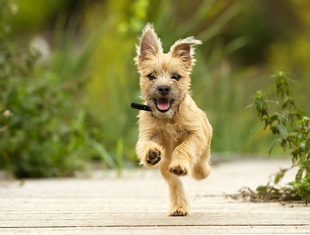 cairn terrier puppy - dog jumping stock photos and pictures