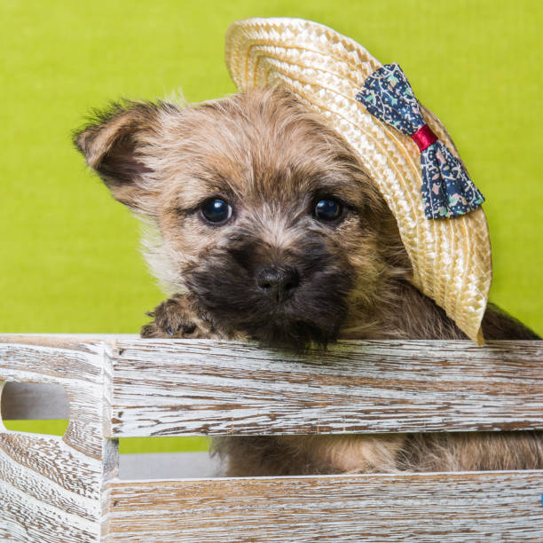 Cairn Terrier puppy red dog in a straw hat stock photo