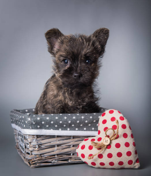 Cairn Terrier puppy with red heart Valentine s Day stock photo