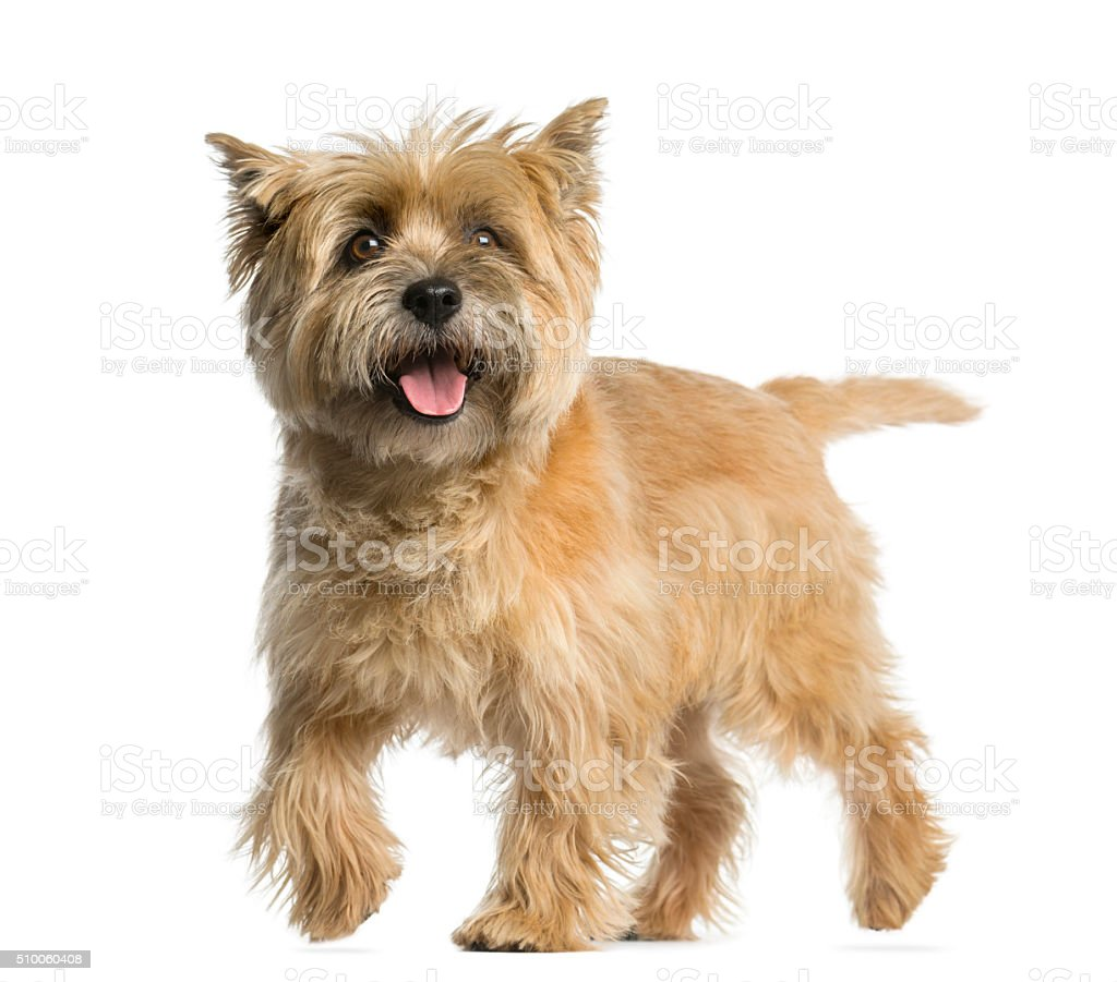 Cairn terrier walking in front of a white background stock photo