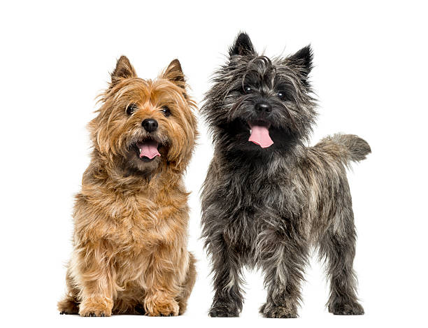 Cairn terriers in front of white background picture id508296514?b=1&k=6&m=508296514&s=612x612&w=0&h=sixweutzdxv0ipoa5sukexta xiu7pm rbk1r3cvfde=