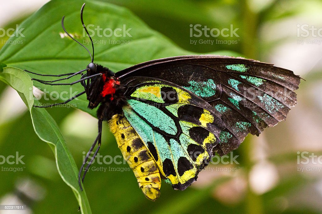 Cairns Birdwing Butterfly on Leaf stock photo