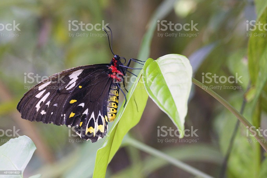 Cairns Birdwing (Omithoptera euphorion) butterfly stock photo